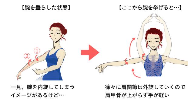バレエ 肩を下げる 解剖学 2