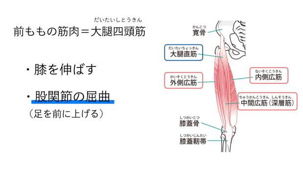 バレエで前ももを使わない(1)前ももの筋肉=大腿四頭筋について